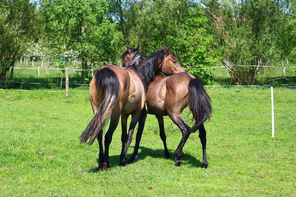Horse, Brown Mold, Thoroughbred Arabian, Young Horses