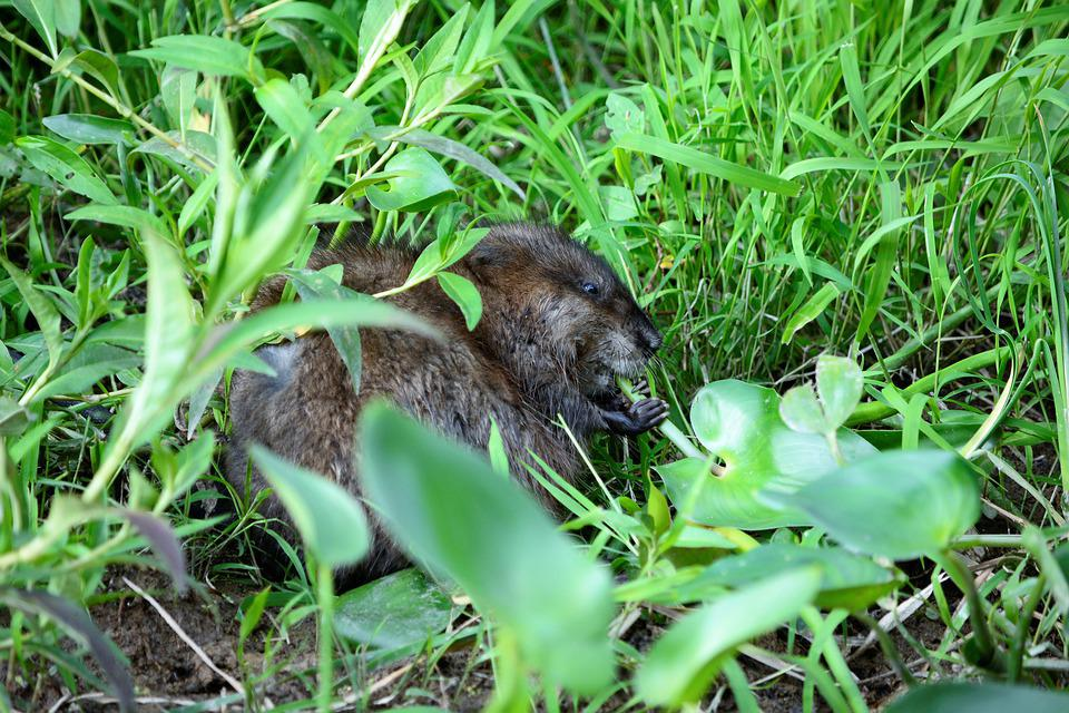 Muskrat, Young Muskrat, Cute, Sharp Teeth, Eating