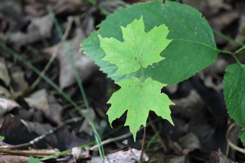 Maple, New Growth, Nature, Foliage, Spring, Young