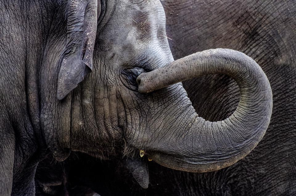 Elephant, Young Animal, Young, Proboscis, Pachyderm