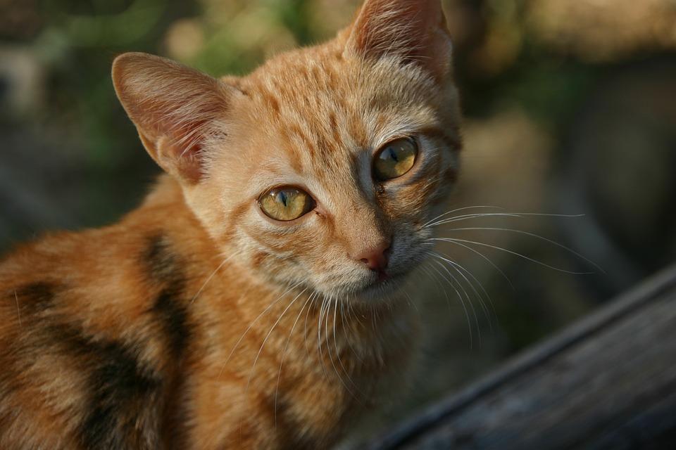 Cat, Young, Pet, Kitten, Cute
