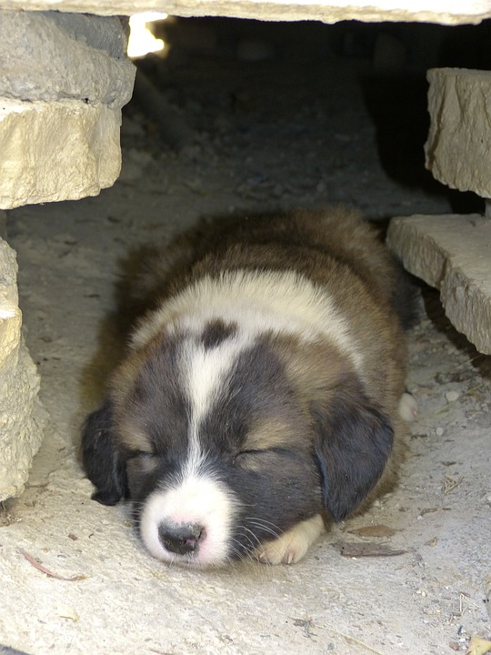 Dog, Young, Tired, Sleepy, Cute, Pet, Animal, Puppy