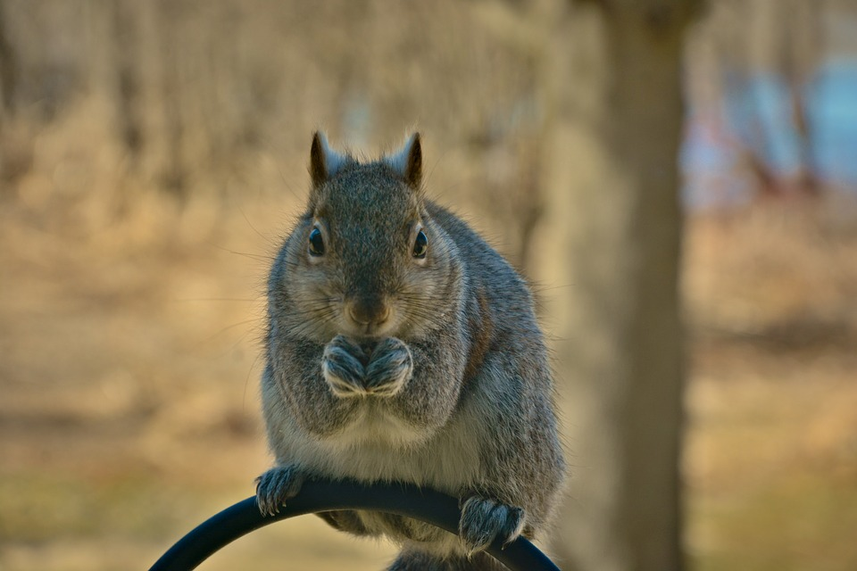 Squirrel, Young, Furry, Clutching Food, Staring, Eating