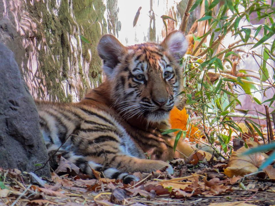 Free photo young tiger cute tiger cub tiger young animal max pixel tiger young animal young tiger tiger cub cute thecheapjerseys Image collections