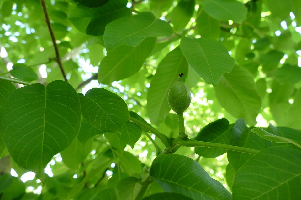 Walnut, Young Walnut, Juglans Regia, Green, Nutshell
