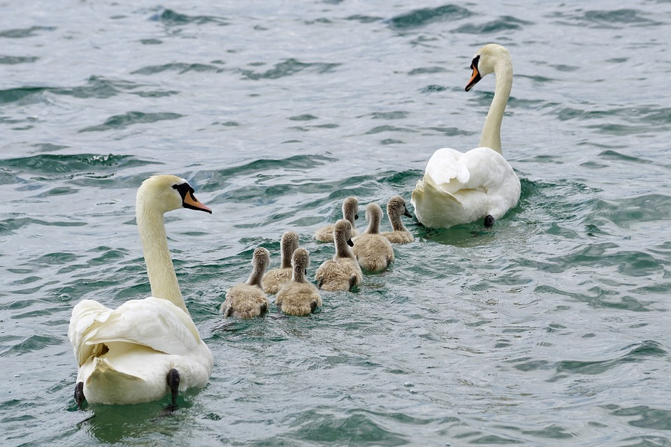 Swans, Family, Swan, Water, White, Bird, Young, Animal