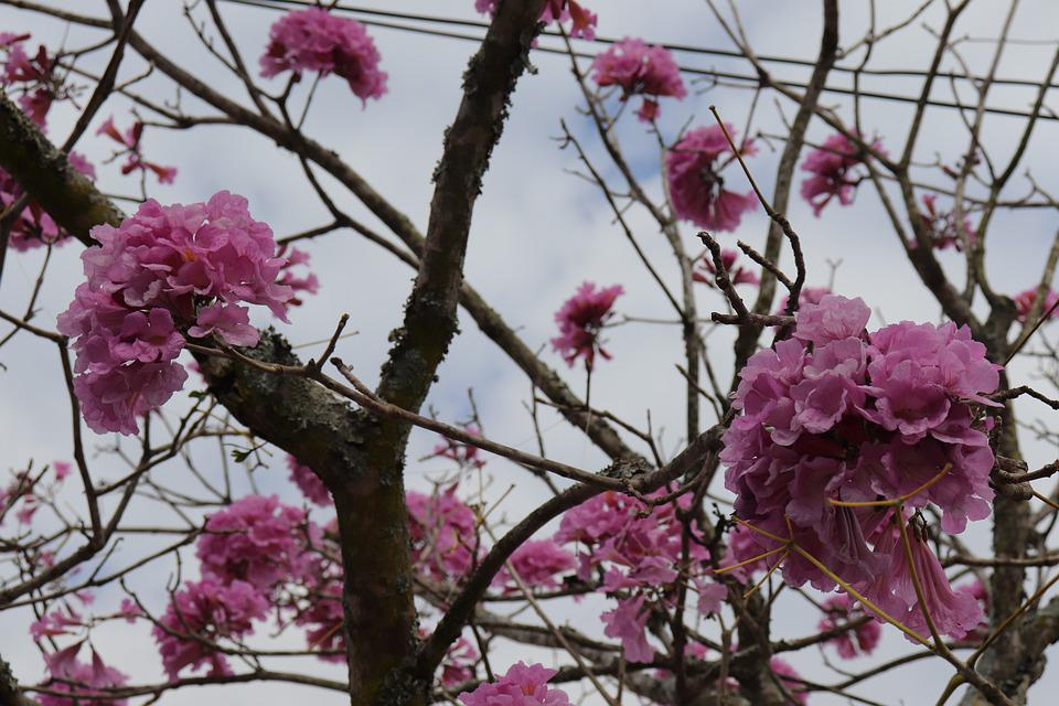 Ypê, Rosa, Flower, Leaves, Flowers, Nature, Spring