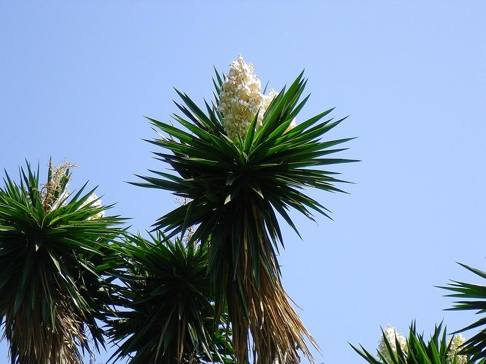 Yucca, Flowers, White Flowers, Spain