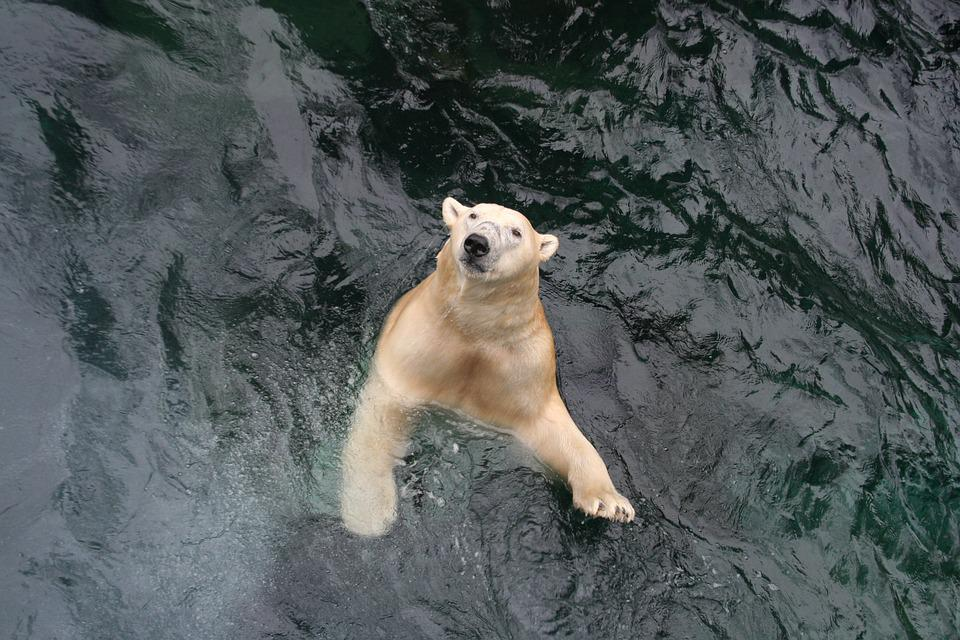 Polar Bear, Bear, Swim, Wet, Yukon, Zoo