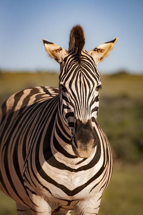Zebra, Animal, Nature, Africa, Safari, Animals, Mammal