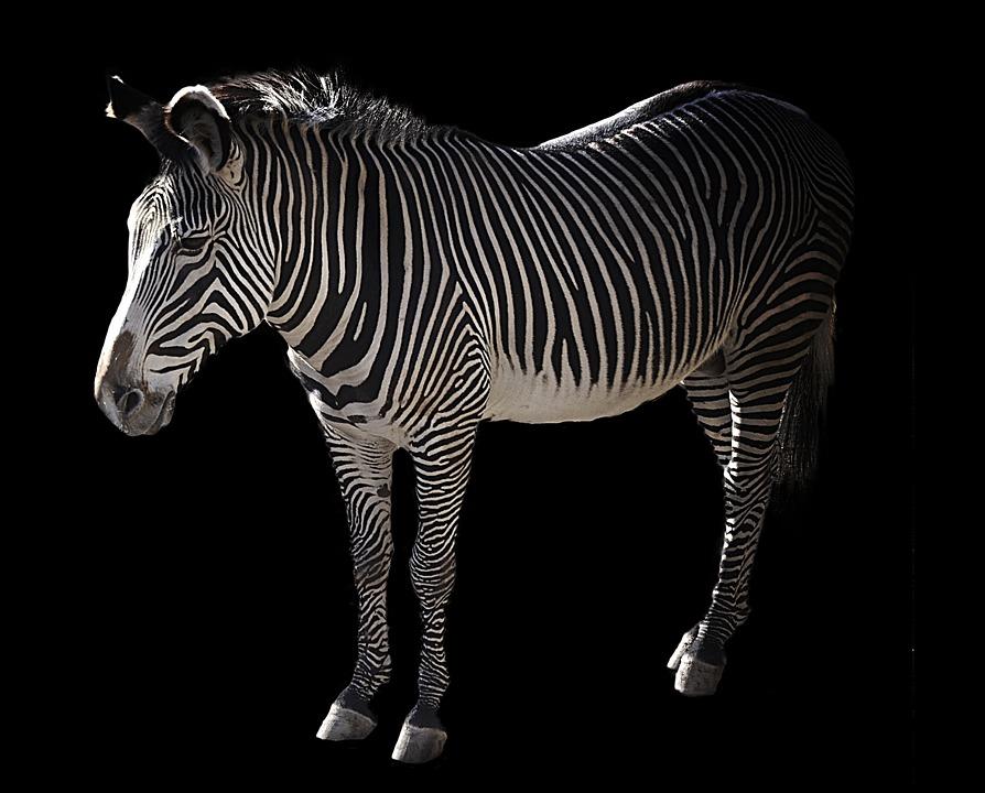 Grevy, Zebra, Africa, Black And White Striped