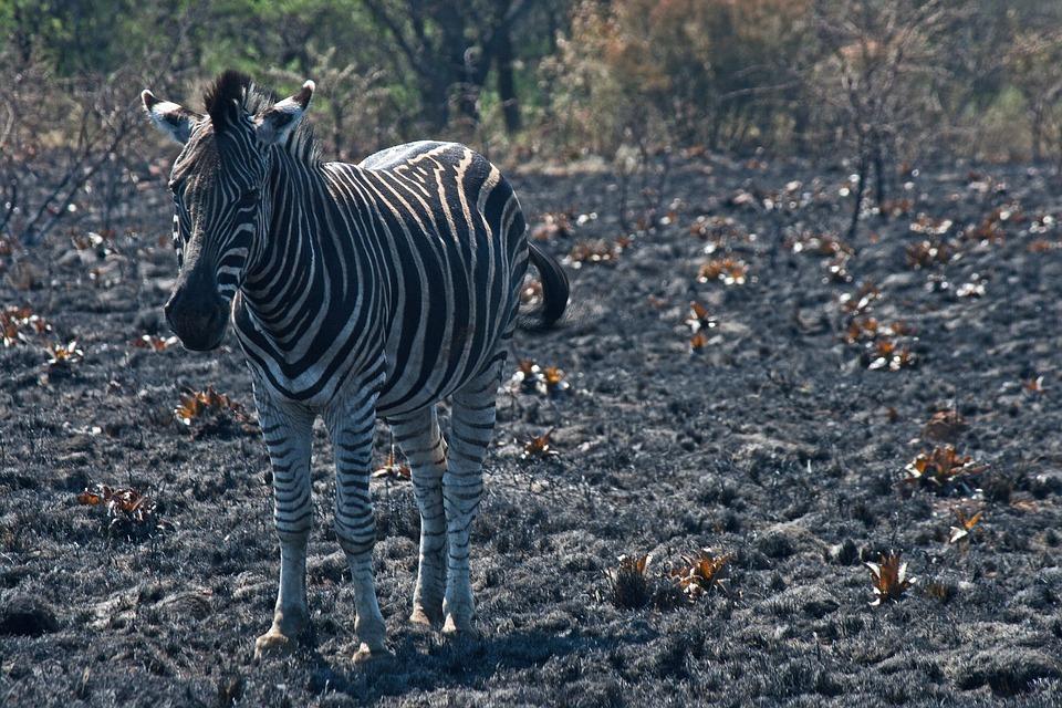 Zebra, Burchell's Zebra, Wildlife, Animal