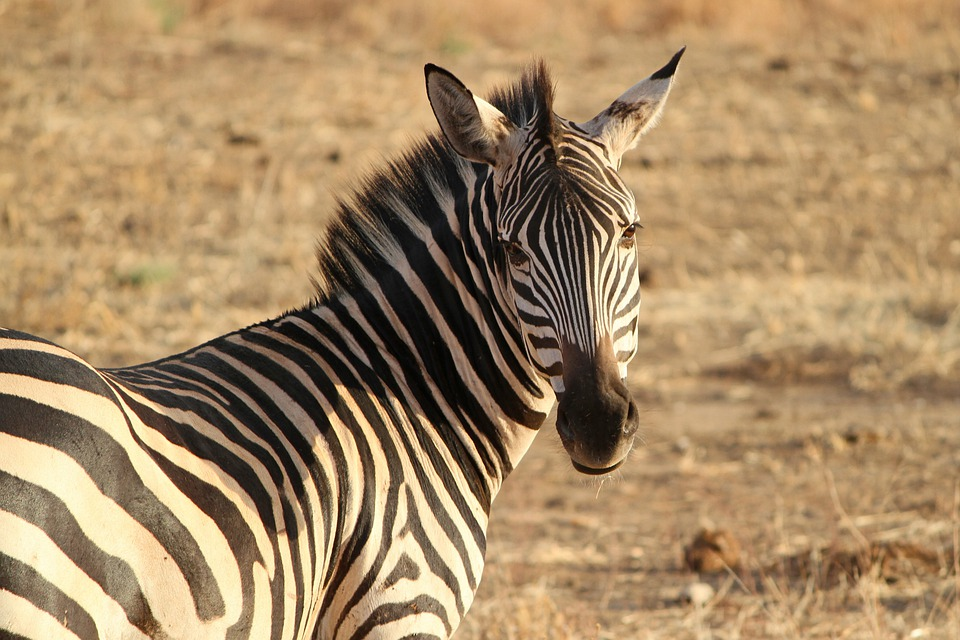 Zebra, Zebra Crossing, Wild Animal, Safari, Tanzania