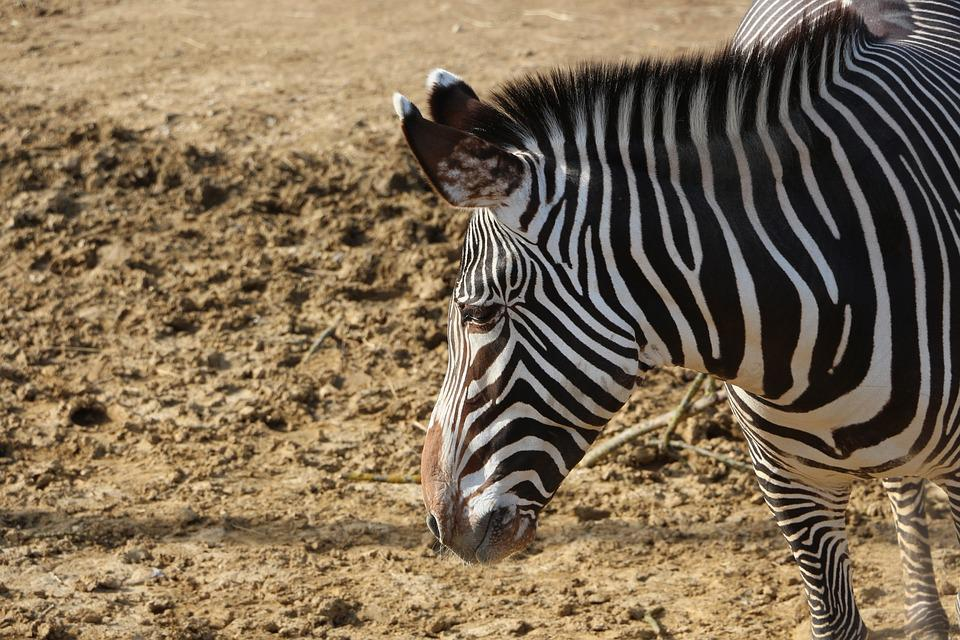Zebra, African Animals, Equine, Stripes, Earth, Zoo