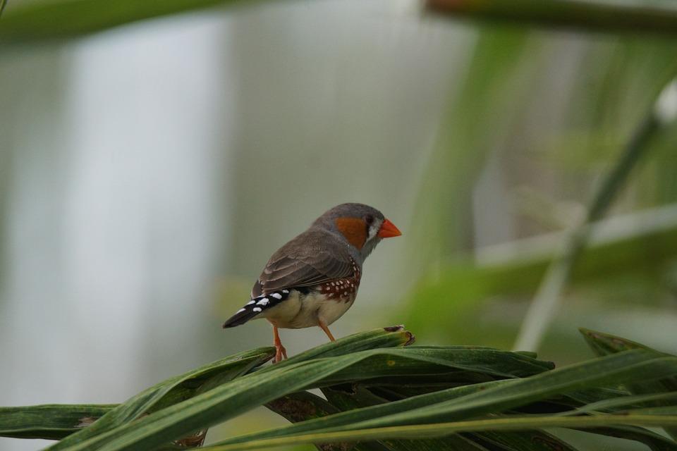 Bird, Sparrow, Zebra, Finch