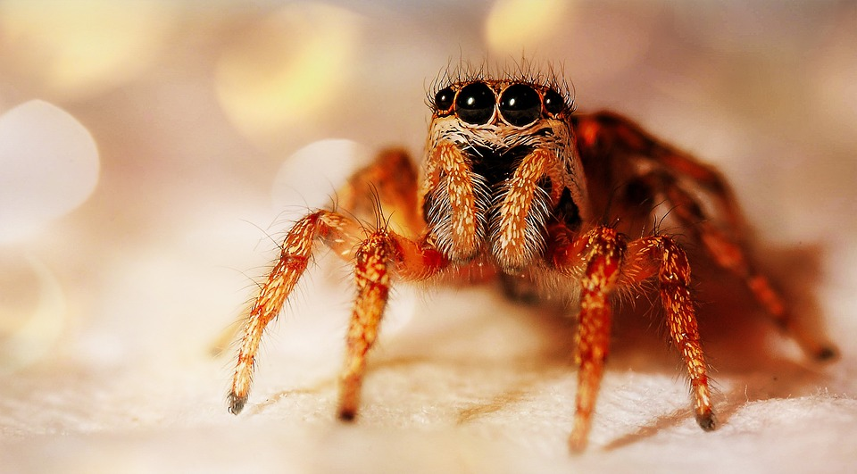 Zebra Jumping-spider, Spider, Animal, Insect