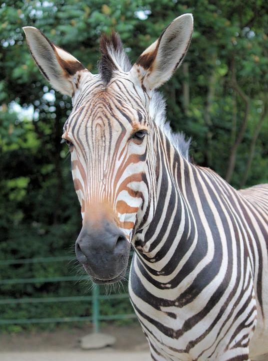 Zebra, Lichokopytník, Striped, Mane, Head, Ears
