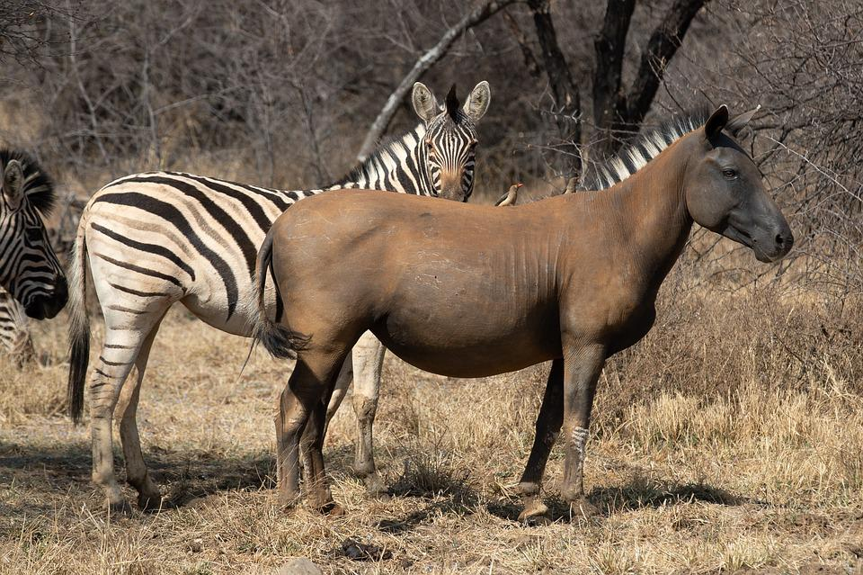 Zebra, Animal, South Africa, Safari, Nature, Striped