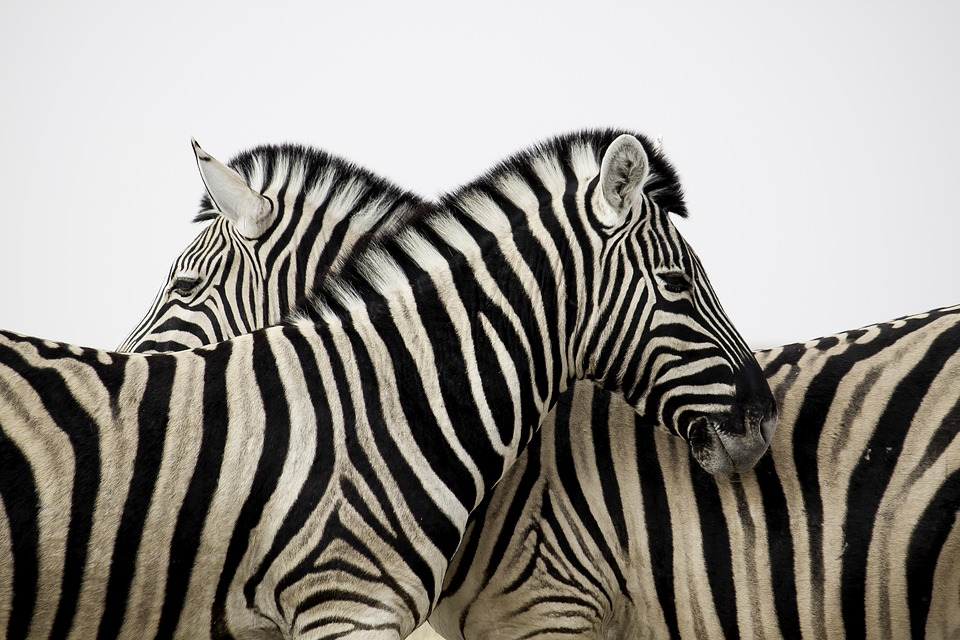 Zebra, Stripes, Couple, Love, Animal, Africa, Safari