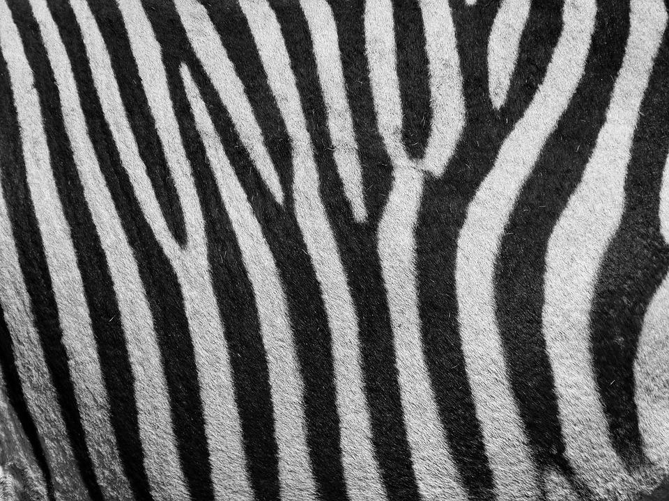 Zebra, Zebra Pattern, Pattern, Stripes, Black And White