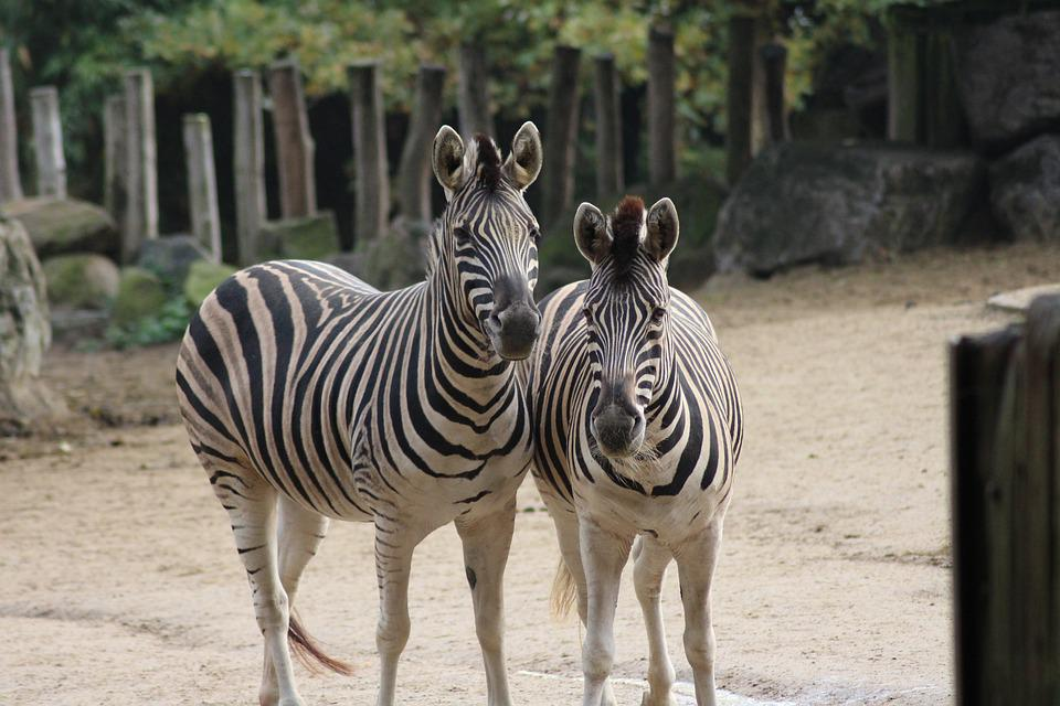 Zoo, Wild Animal, Animal, Ungulate, Zebra, Tiergarten