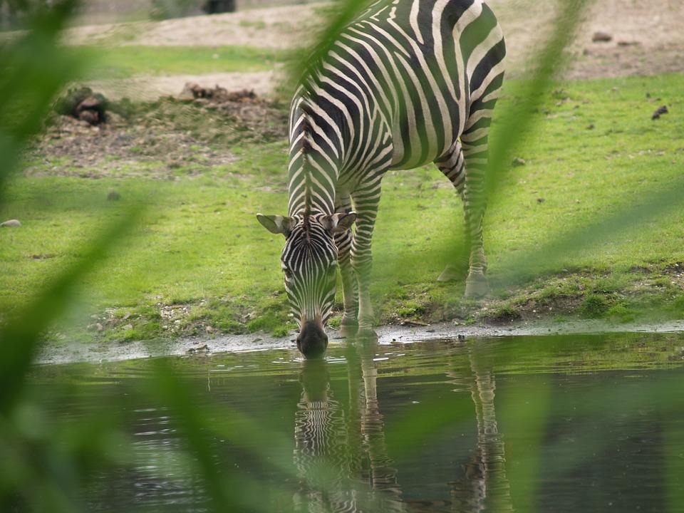 Zebra, Watering Hole, Wild Horse, Horse, Mane, Striped