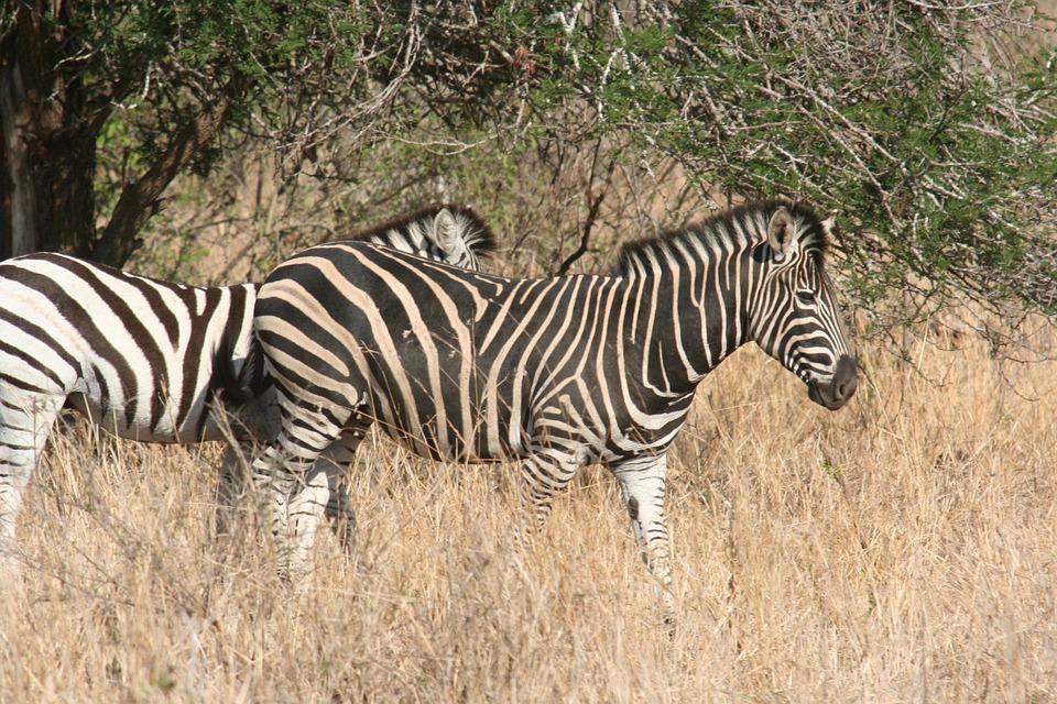 Zebra, Botswana, Africa, Safari, Zebras, Animals