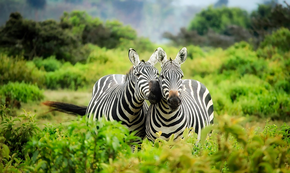 Kenya, Africa, Zebras, Wildlife, Animals, Cute