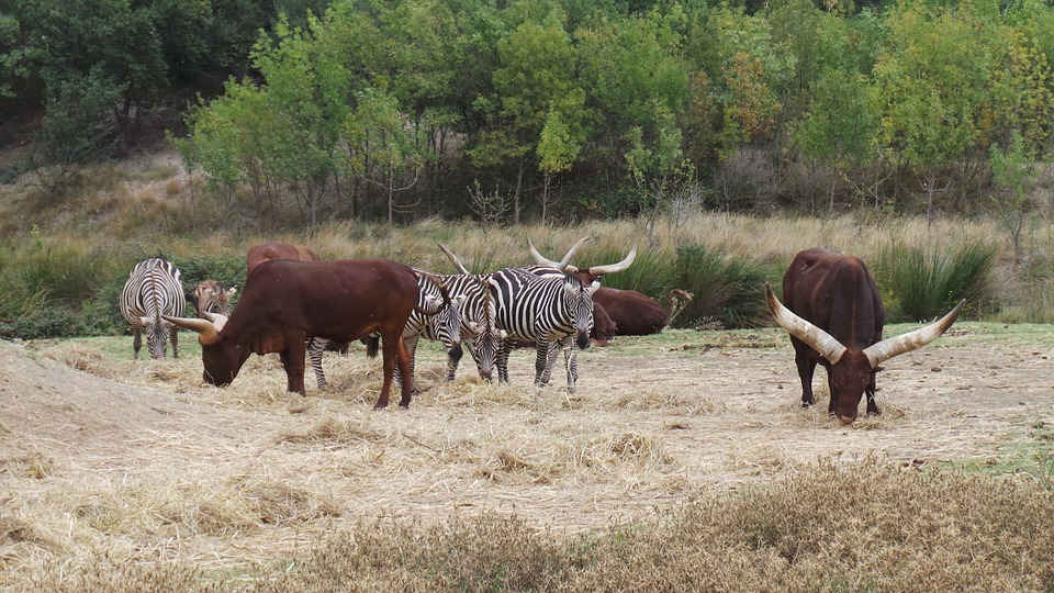 Zebras, African Reserve, Sigean, Zoo, Wild Animals