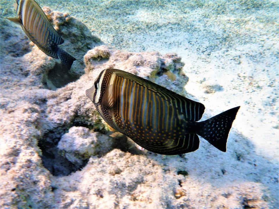 Zebrasoma, Multicolor, Fish, Pokolcowate