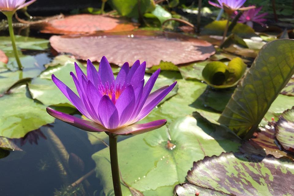 Purple, Magenta, Lotus Flower, Flower, Blossom, Zen