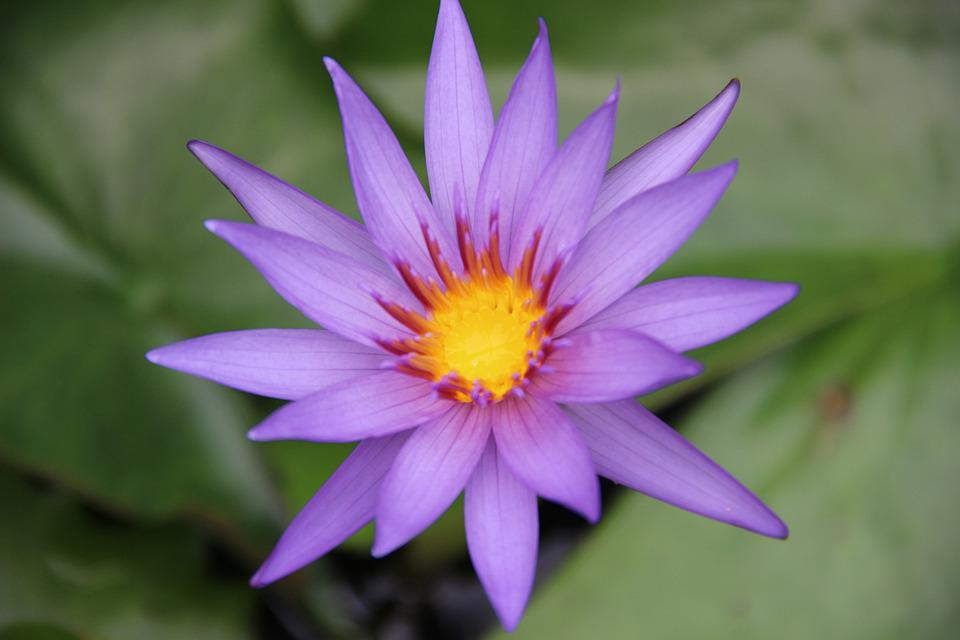 Zen, Lotus, Flower, Purple, Meditation, Nature