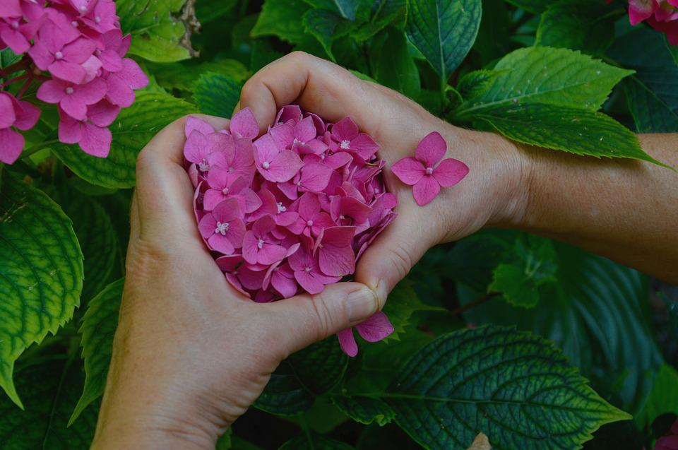 Hydrangea, Flower, Heart, Plants, Summer, Garden, Zen
