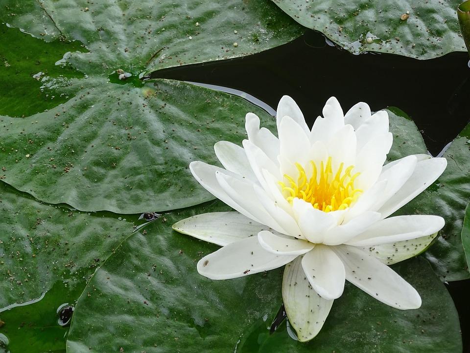 Water Lily, Flower, Mare, Zen