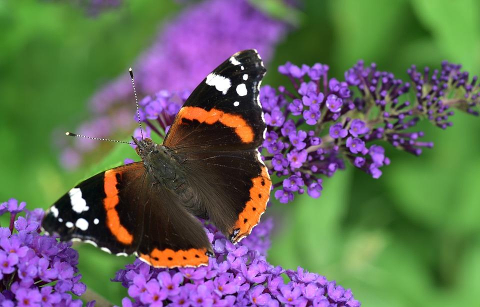 Butterfly, Close Up, Lilac, Zierflieder, Purple, Wing