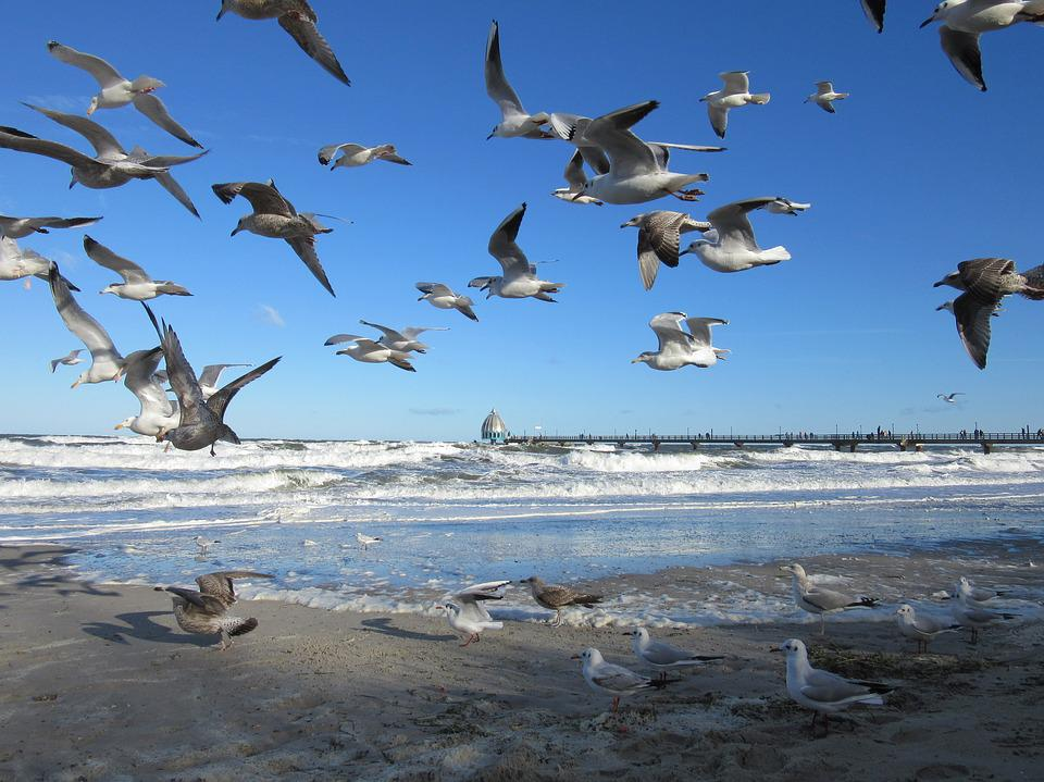 Baltic Sea, Zingst, Gulls