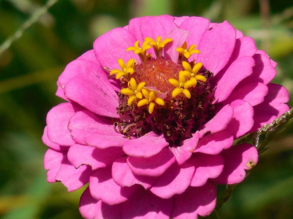 Annual, Zinnia, Nature, Floral, Bright, Botanical