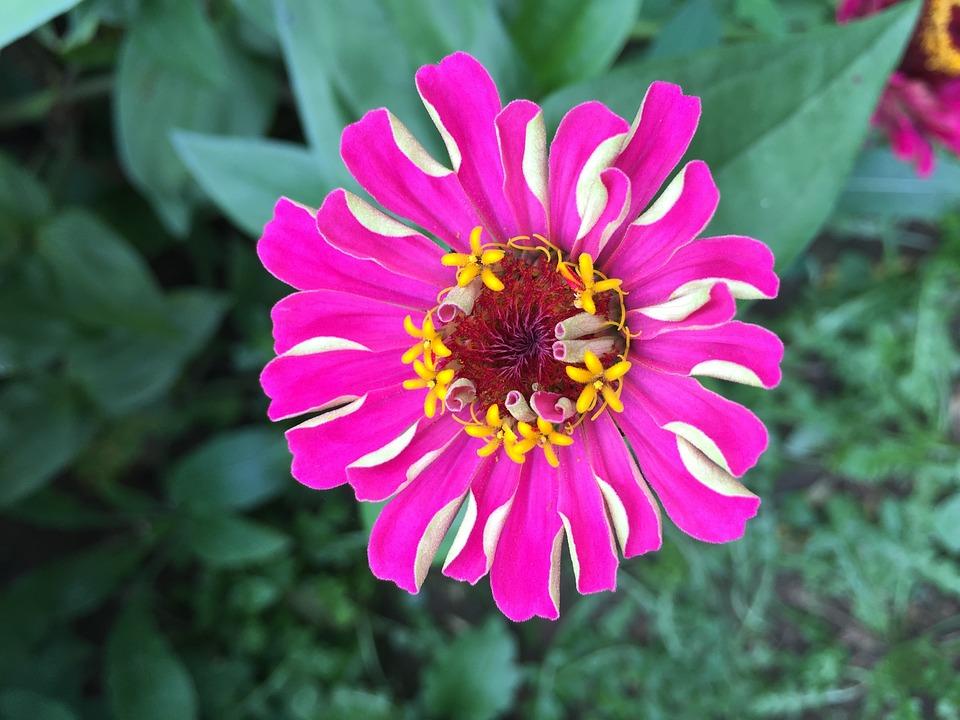 Zinnia, Flowers, Nature, Crape Myrtle, Pink Petals
