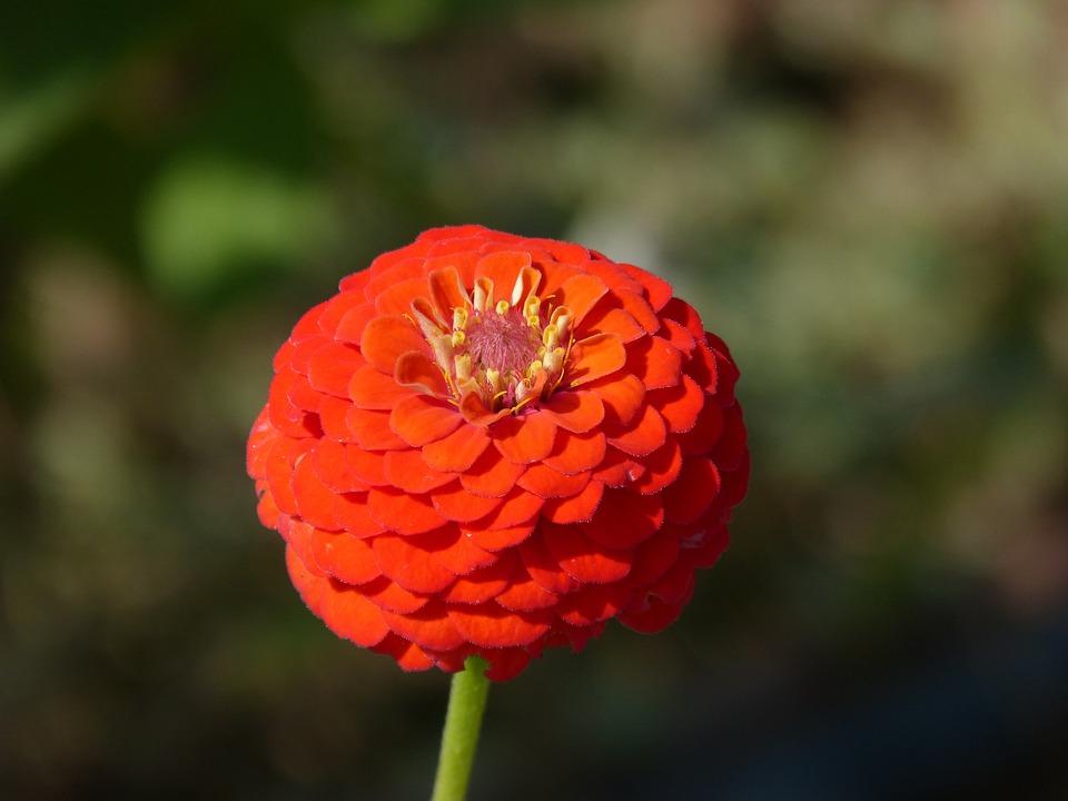 Zinnia, Flower, Beauty, Detail, Gradient