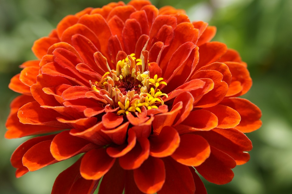 Zinnia, Blossom, Bloom, Flower, Orange, Flower Garden