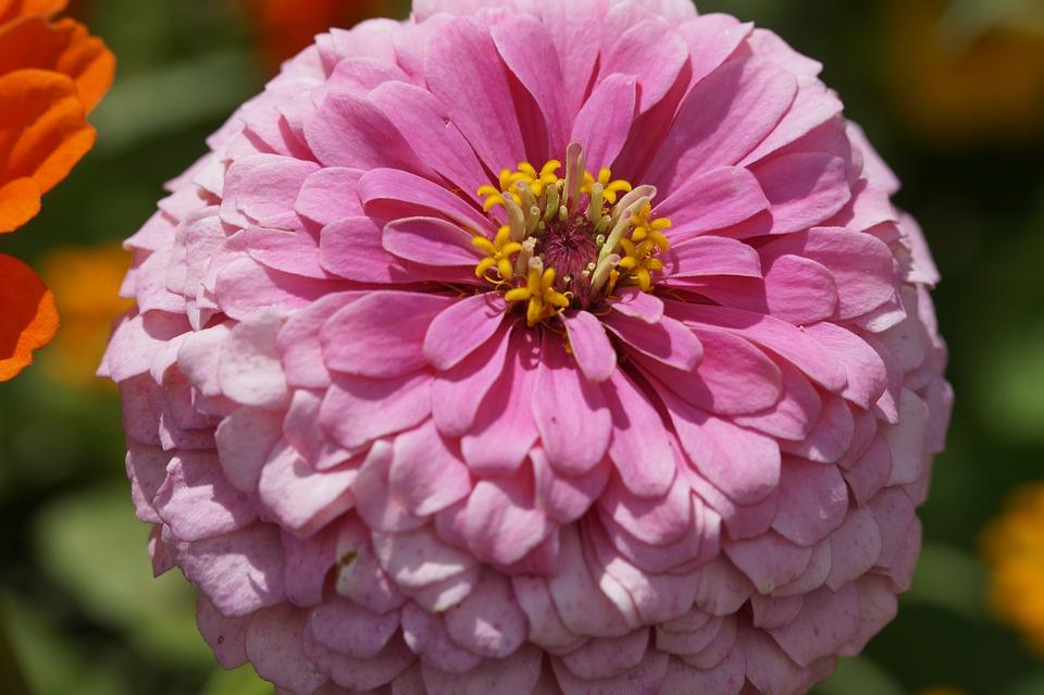 Zinnia, Flower, Blossom, Bloom, Bloom, Flower Garden
