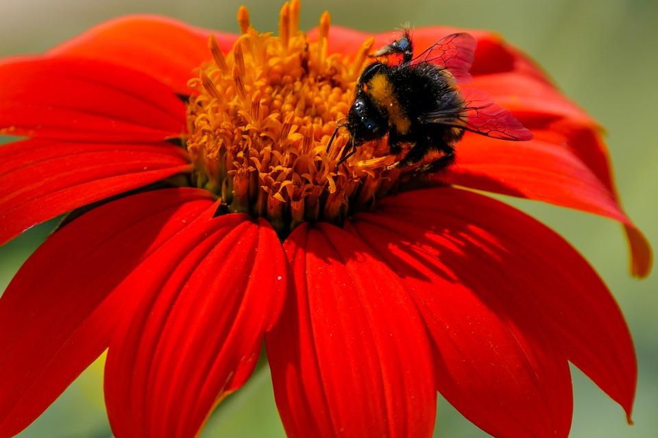 Flower, Blossom, Bloom, Hummel, Zinnia, Nectar, Food
