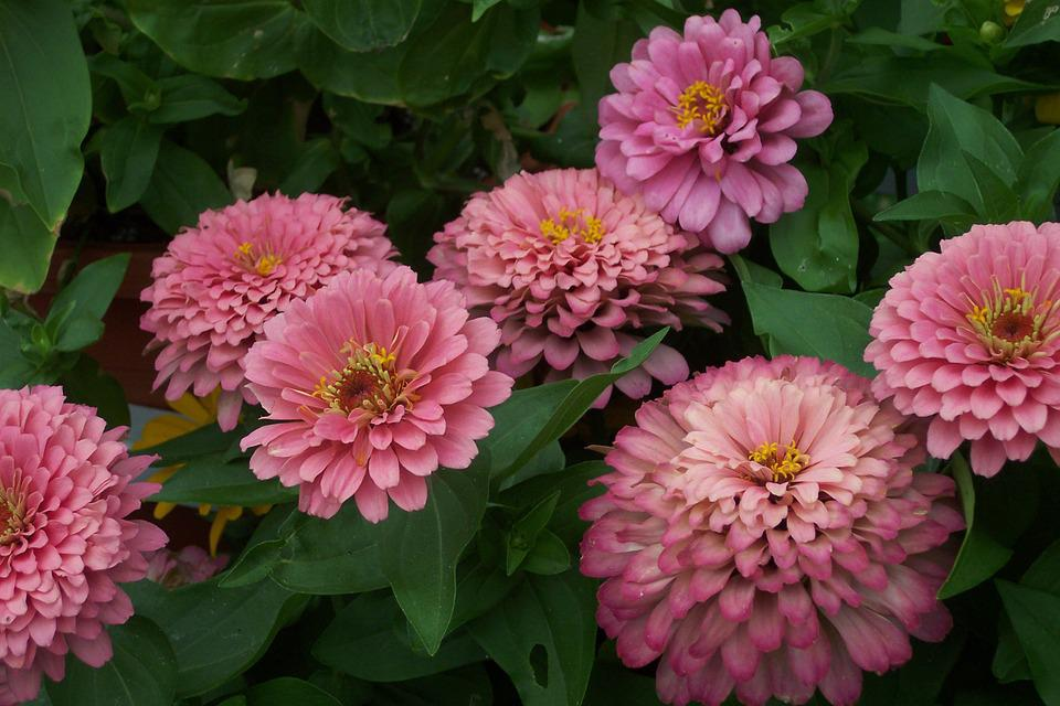 Flower, Zinnia, Pink