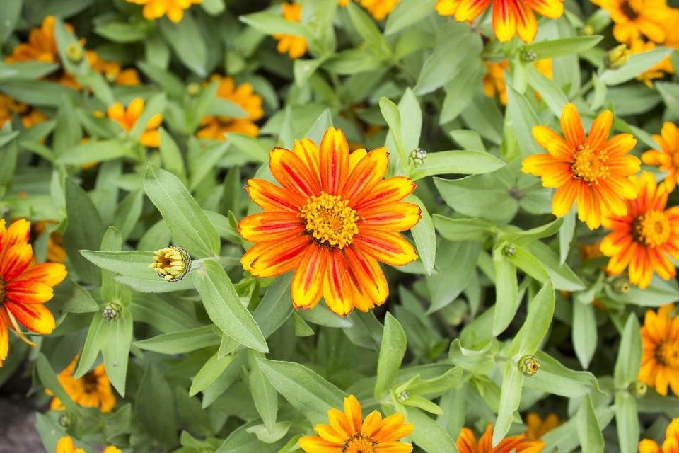 Zinnia, Zahara Sunburst, Orange Yellow Flower, Garden