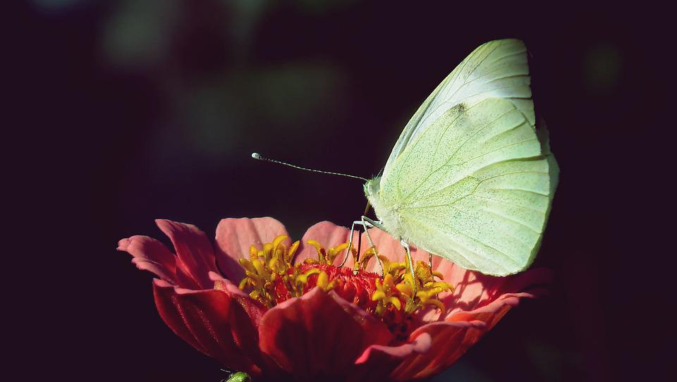 Butterfly, Insect, Flower, Zinnia, Plant