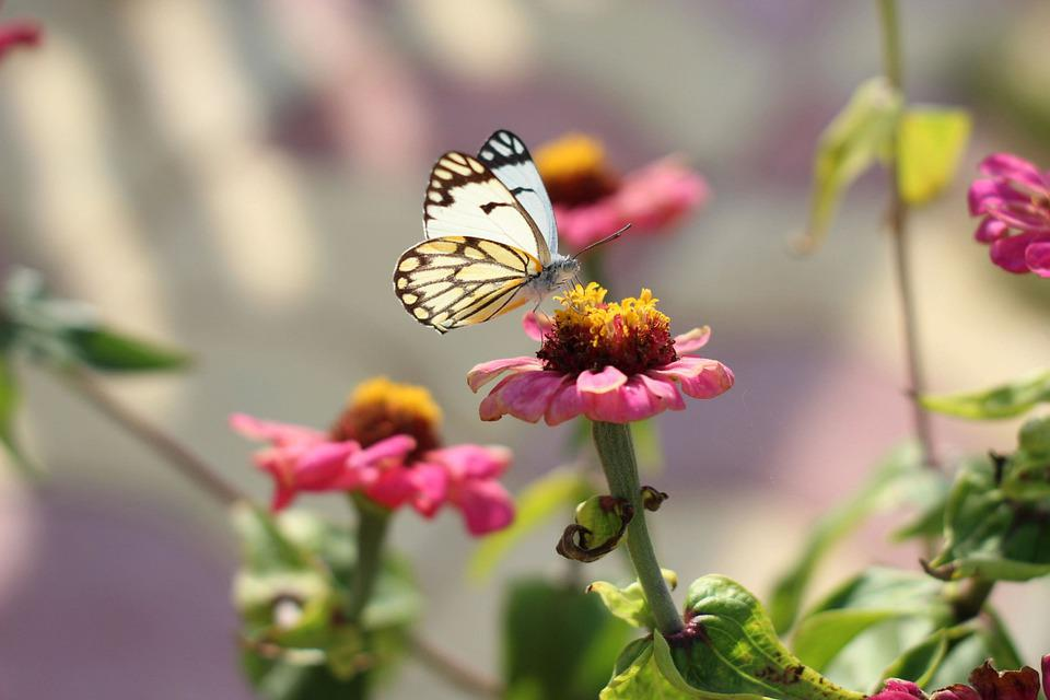 Butterfly, Zinnia, Pollination, Insect, Flower