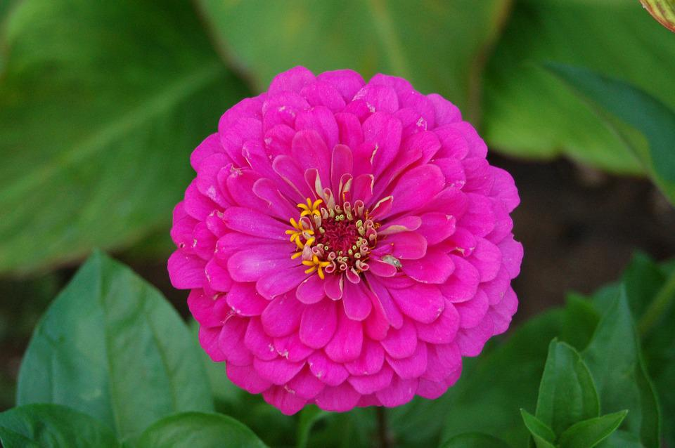 Zinnia, Flower, Summer, Garden, Flowers, Home Garden