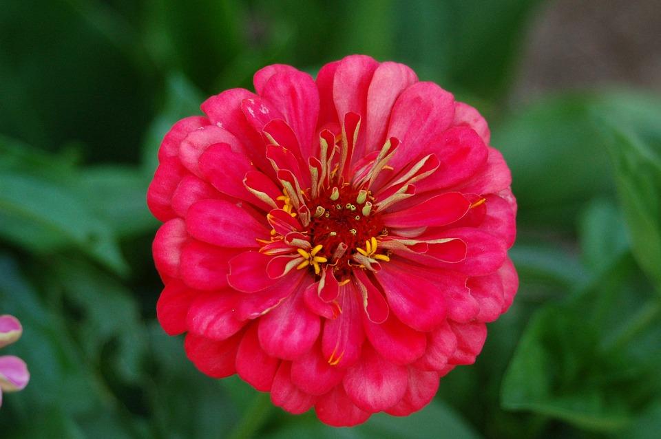 Zinnia, Flower, Summer, Garden, Flowers, Home Garden