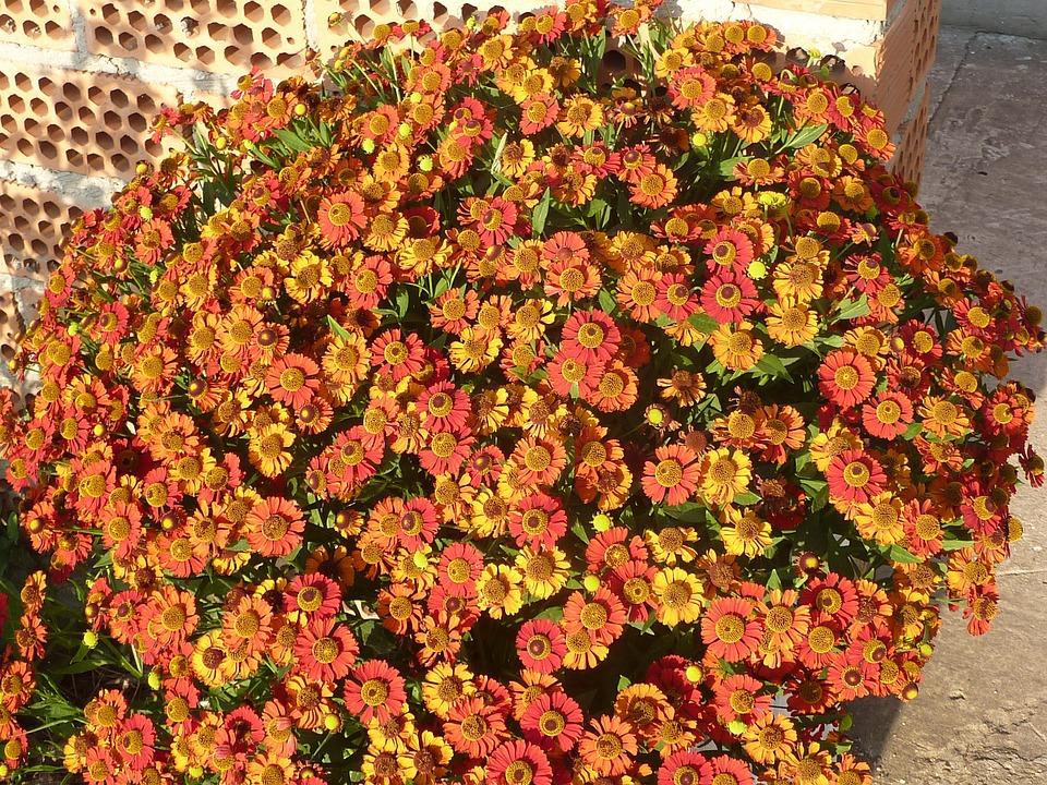 Flowers, Zinnias, Orange, Blooms, Garden