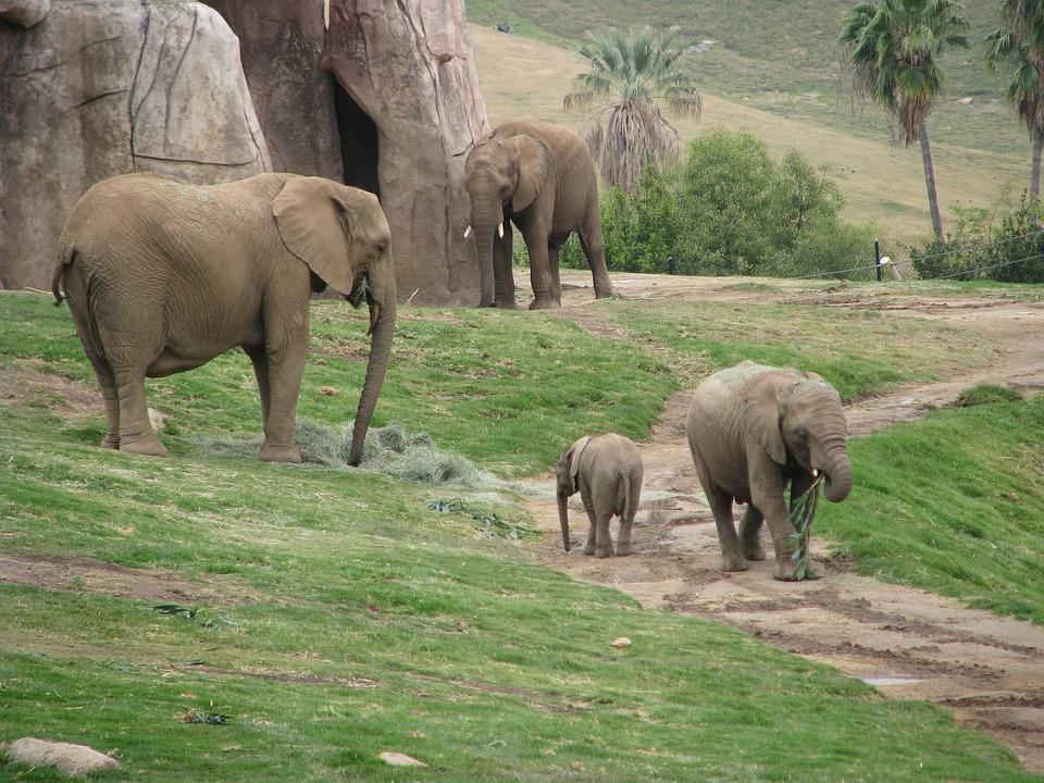 Elephants, Baby Elephant, Zoo, San Diego Zoo, Animal